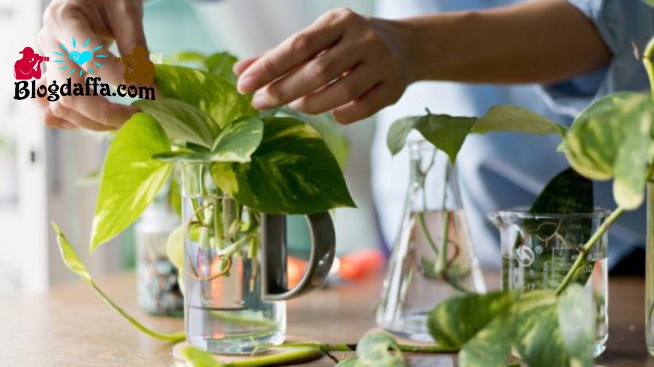 Cara menanam sirih dengan Stek air