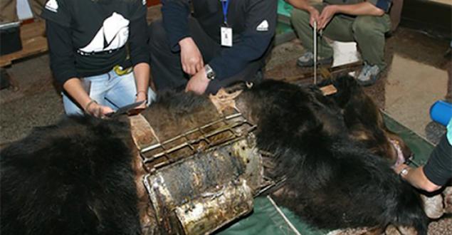 Освобождение Медведя, Которые Всю Жизнь Носил «Стальную Рубашку Смерти»