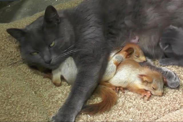 Кошка приняла и выкормила бельчат вместе со своими котятами