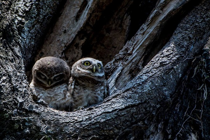 Even if you look at angry eyes, everyone has to stay at home. Please everyone stay in the house. Spotted Owlet