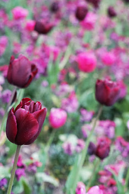 Photograph showing detail of the flower bed. A purple tulip is in the foreground. Behind it are the blurred images of other flowers in similar colours.