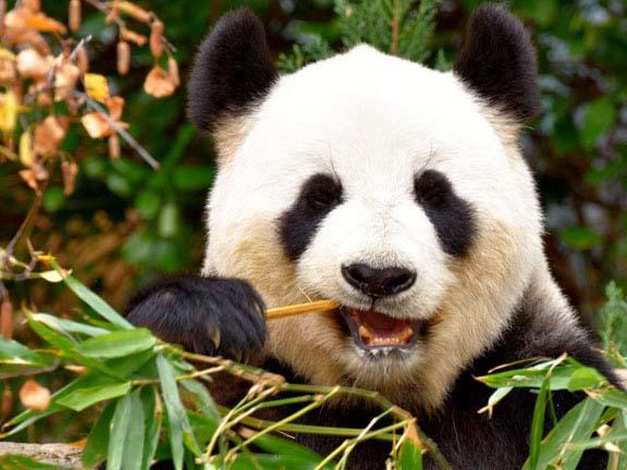 विशाल पांडा,