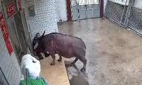 Angry Bull Attacks Old Man