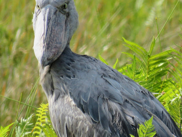 Where to see shoe-billed storks in Uganda? Close-up of a shoebill in Mabamba Swamp