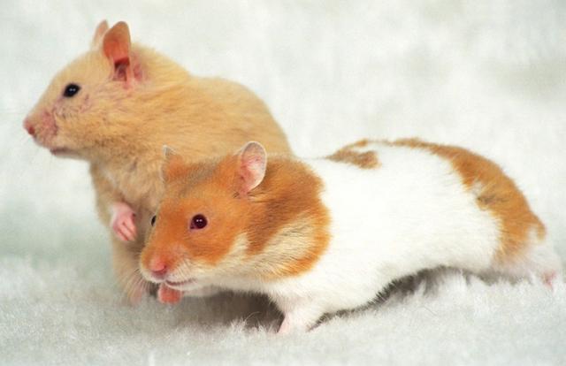 cara beternak hamster dengan modal kecil