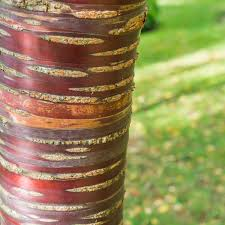 Close-up of the red and orange bark of a Tibetan Cherry Tree.