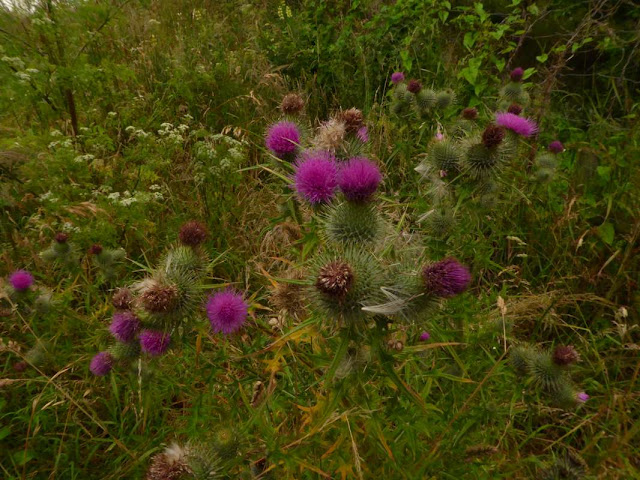Thistles, Nature's Fireworks!