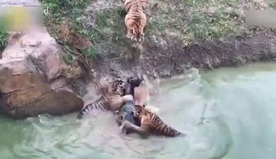 Sadis, Kebun Binatang Ini Umpankan Keledai Hidup ke Harimau