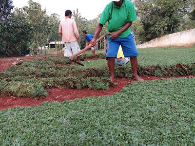 Jual rumput gajah mini | SuryaTaman