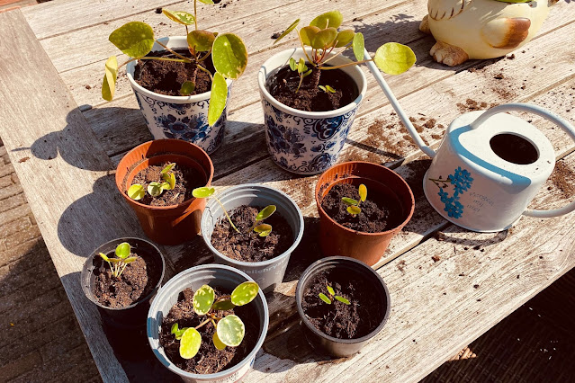 Pilea Pannenkoekenplant stekken