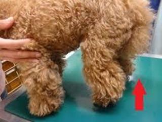 cães mancando