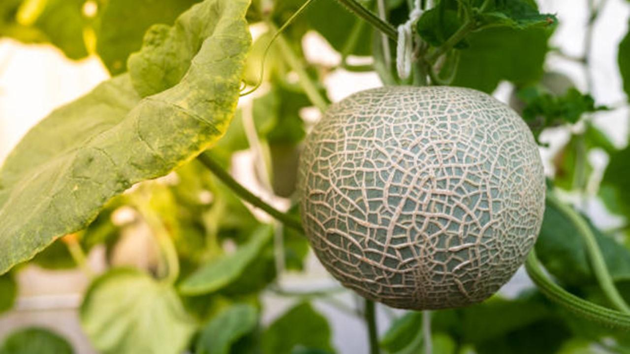 Umur Tanam Melon