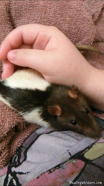 Kingston the Rescue Rat being held