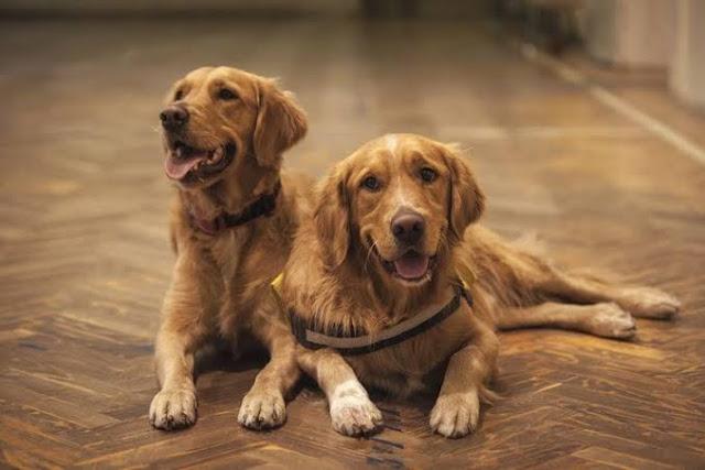 Ciri Ciri Anjing Golden Retriever