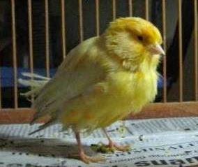 Ciri-Ciri Burung Sakit