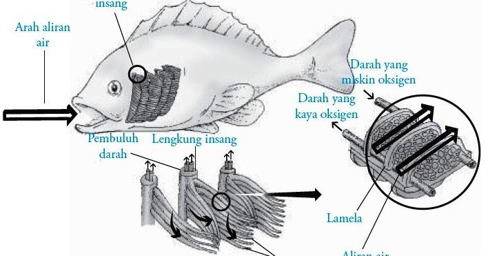 Sistem Pernapasan Pada Ikan Pisces