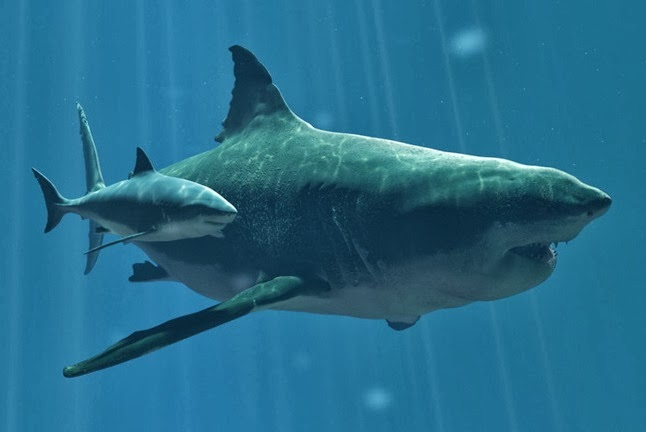 Great White Shark Vs Megalodon