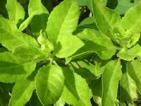 Manfaat Daun Beluntas(Pluchea Indica) untuk kesehatan