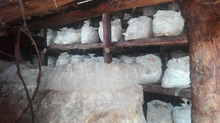 Oyster Mushrooms: Step by step guide by Sharon Waswa.