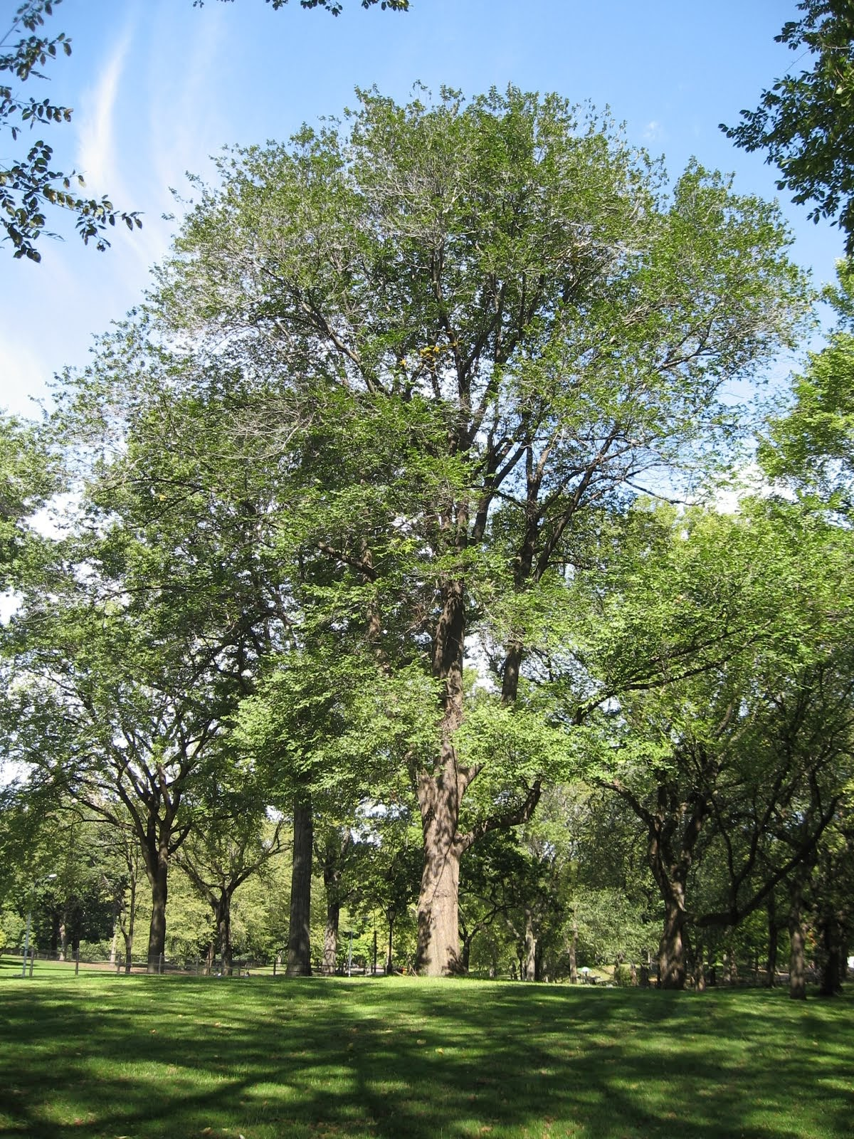 アメリカのセントラルパークに植えられたジョイス・キルマーの木