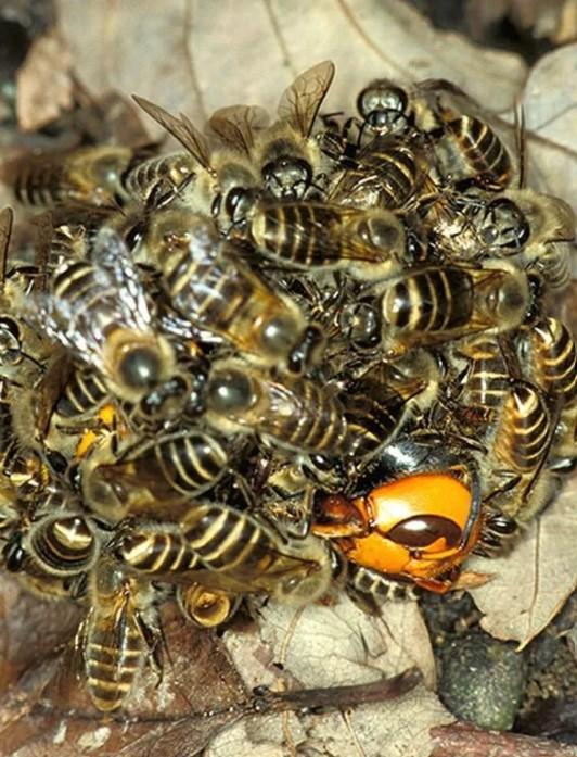 Japanese Bees, Murder Hornet