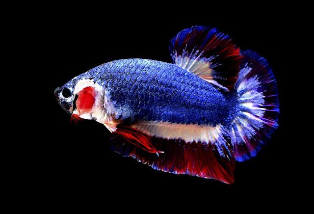 Ikan Cupang Kachen Worchai - Hantu Laut