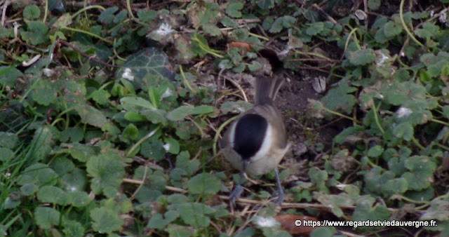 Oiseaux du jardin :  Mésange nonnette