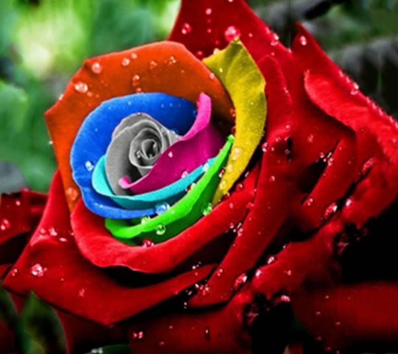 Ý nghĩa và những hình ảnh đẹp về hoa hồng 7 màu - Blog Hoa Đẹp