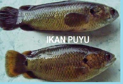 Cara membedakan induk jantan dan betina ikan papuyu