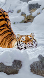 Tiger Snow Mobile HD Wallpaper