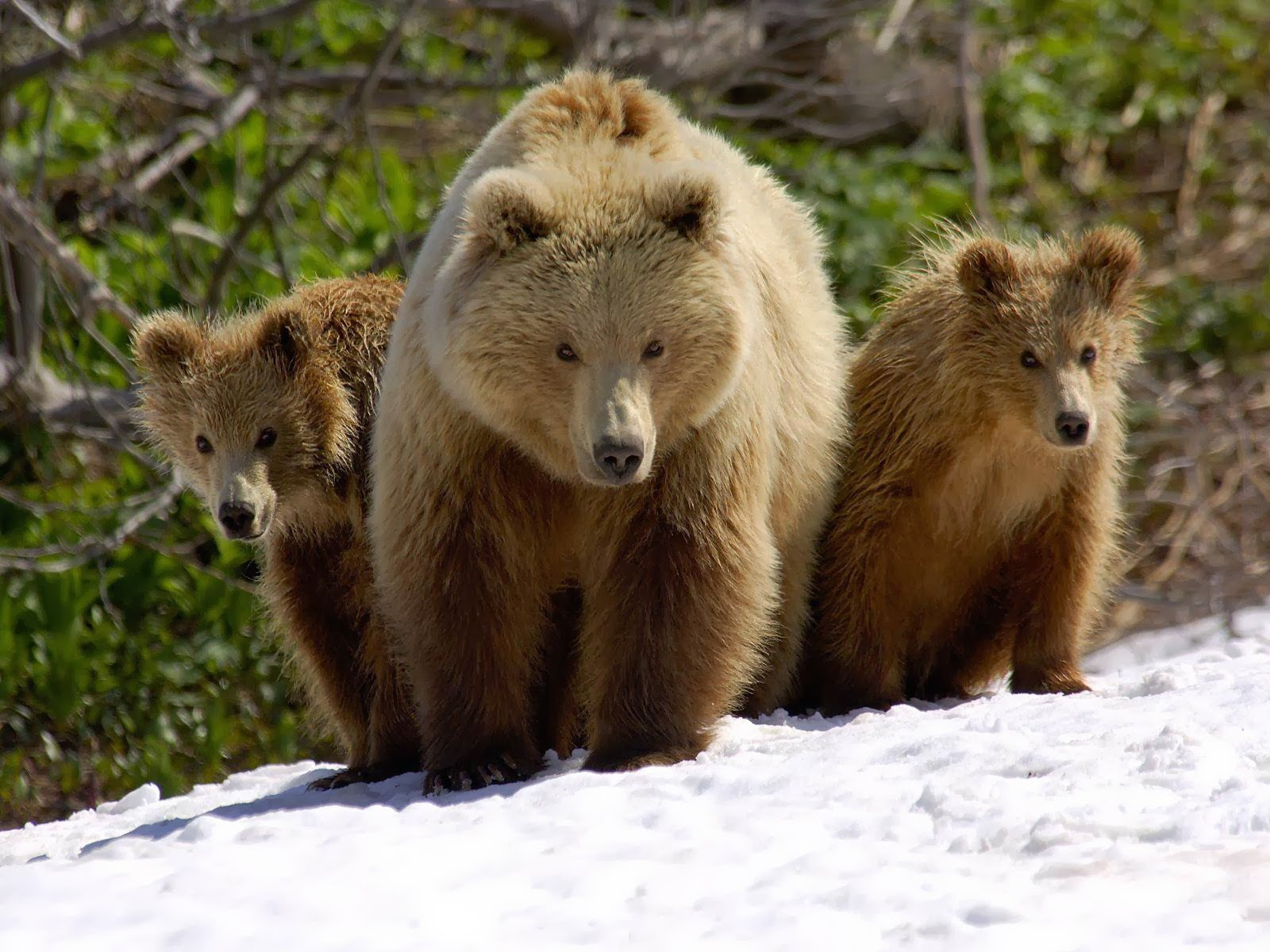 Brown Bear Images