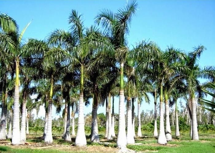 manfaat pohon palem, pohon palem yang menghasilkan sagu, tanaman hias, jenis tanaman palem, Palem Raja, Palem Phoenix, Palem Natal, Palem Ekor Bajing,Palem Botol, Palem Dop, Palem kol, Palas Payung