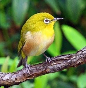 Tips Dan Cara Merawat Burung Pleci Bakalan Muda Hutan Agar Cepat Buka Paruh Paling Lengkap