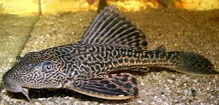 Ikan Sapu Sapu siomay