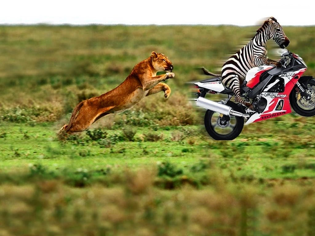 Tiger Hunt Zebra Moto Funny Wallpaper Hd Background Free Download Image Gallery Photo And Picture Imagehdfree