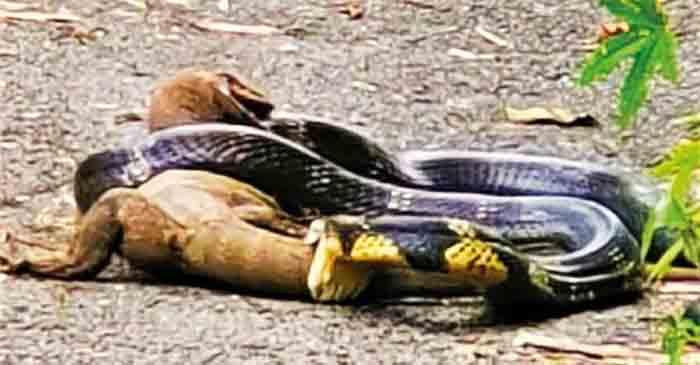 Snake, News, Kerala, Forest, Animals, Social Media, Viral, Monitor lizard filmed biting a King Cobra in a ferocious fight