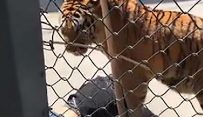 Harimau bunuh pawangnya di depan pengunjung