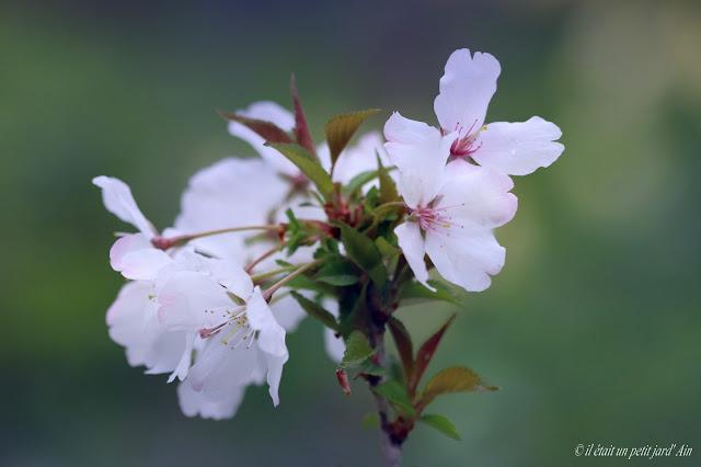 floraison blanche printemps