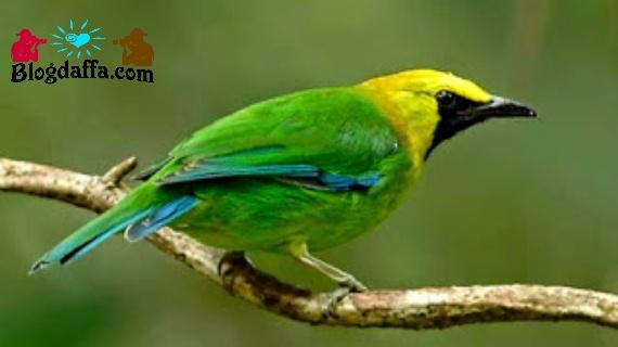 Ciri-ciri burung cucak ijo Rante/Ranti