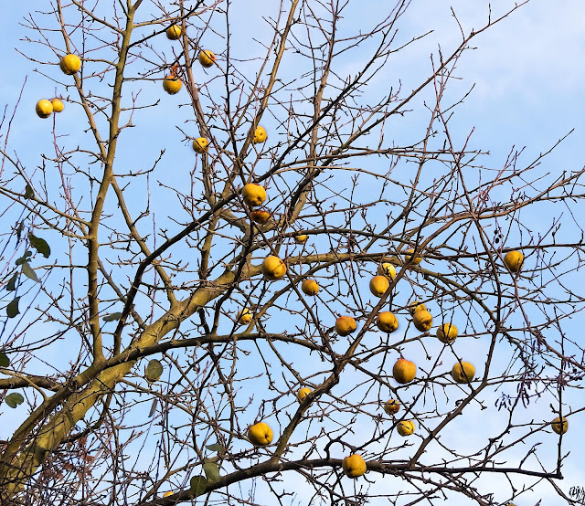 Apples still attached to bare branches high up in tree
