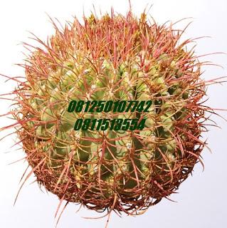Kaktus I | Jasa Tukang Taman Surabaya