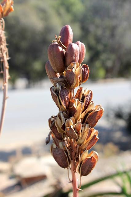 Aloe dawei seed pods