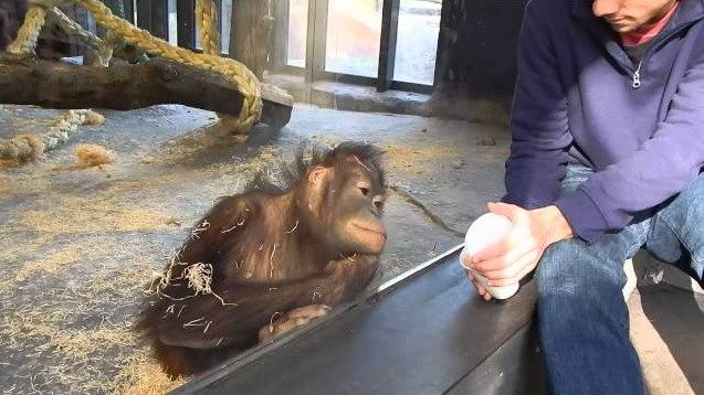 Lucunya Orangutan Yang Tertawa Melihat Trik Sulap Pengunjung Kebun Binatang