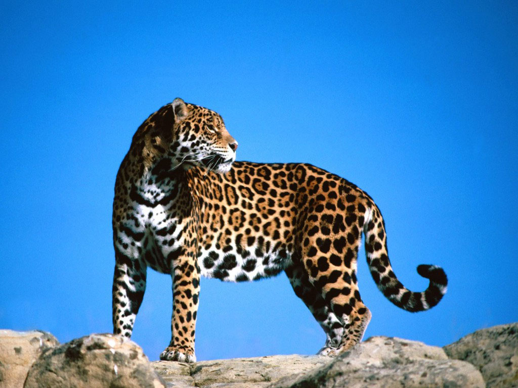What Do Jaguars Eat >> QQ Wallpapers: Jaguars are the biggest of South America's ...