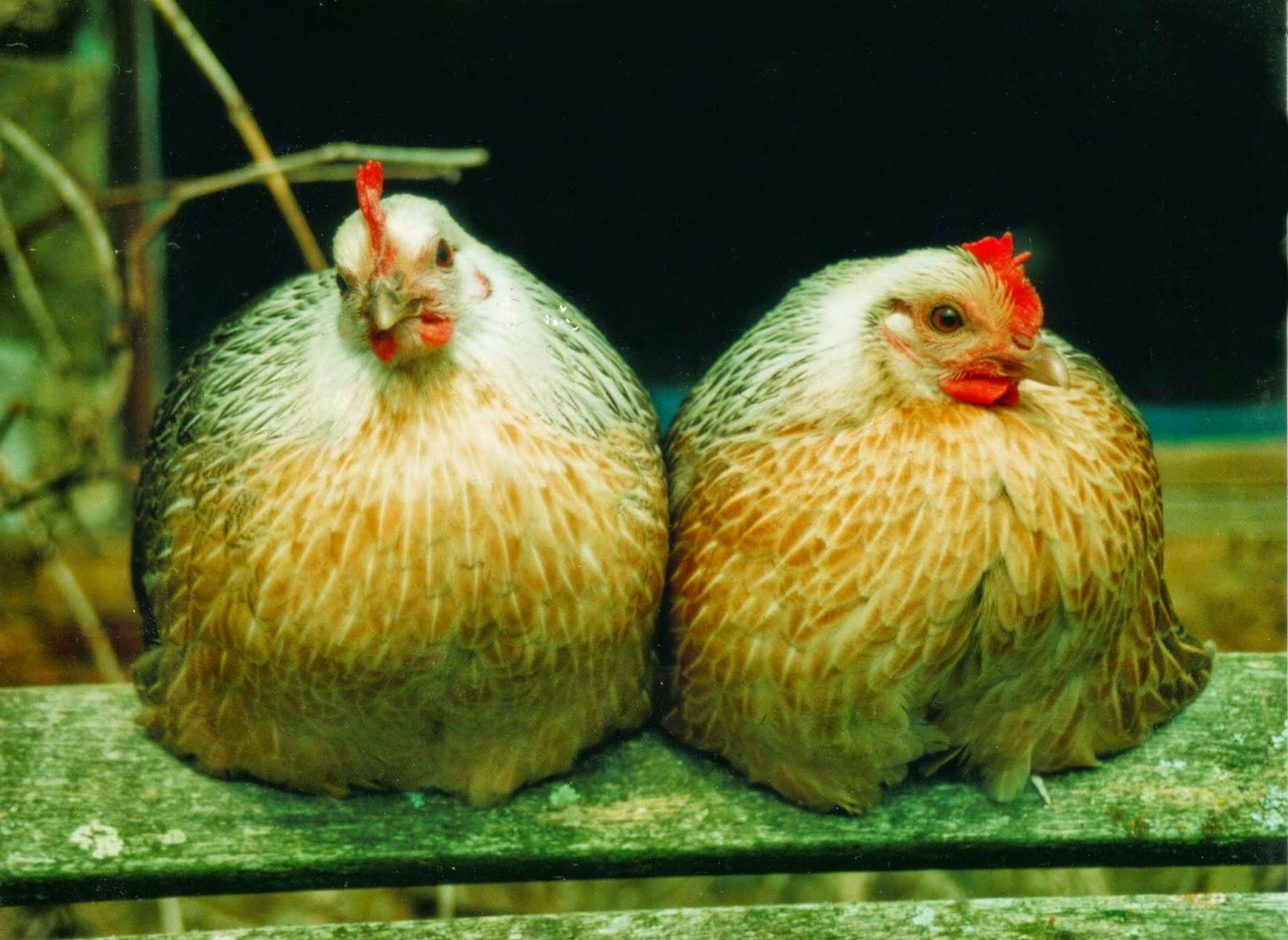 Ardenner hens - rare breed Belgium bantams (silver duckwing)