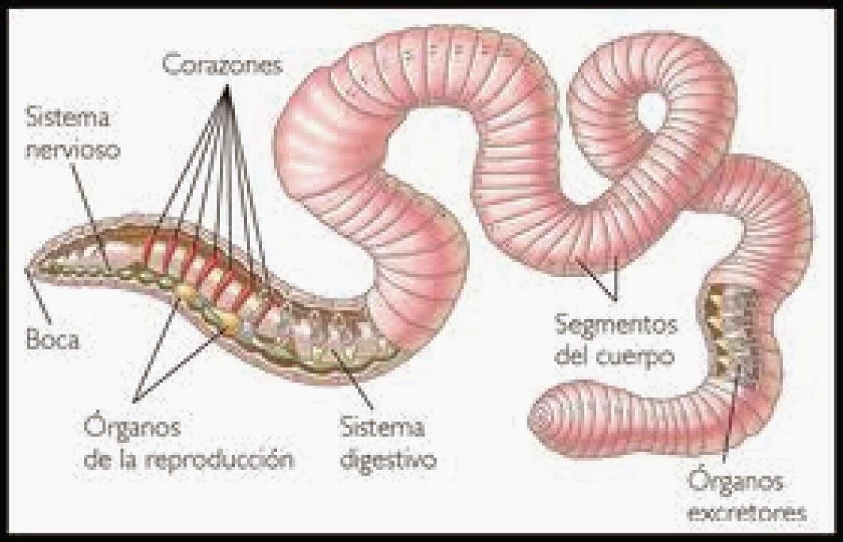 VIDA SANA ECUADOR: CLASIFICACION ZOOLÓGICA DE LA LOMBRIZ ROJA