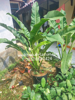 harga pohon philo pisang