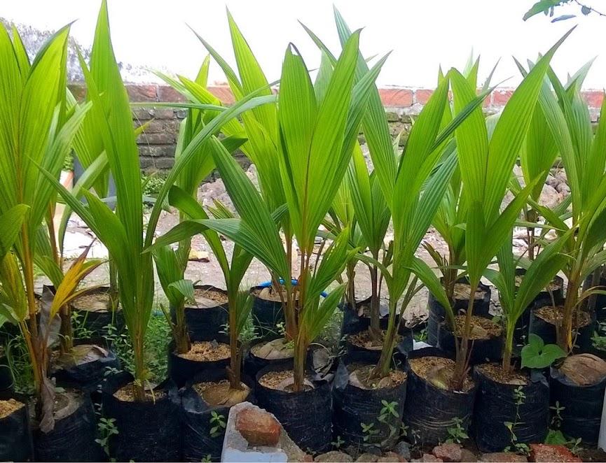 Bibit kelapa pandan wangi thailand asli import 100 Activ Wisata Agrotani Aceh