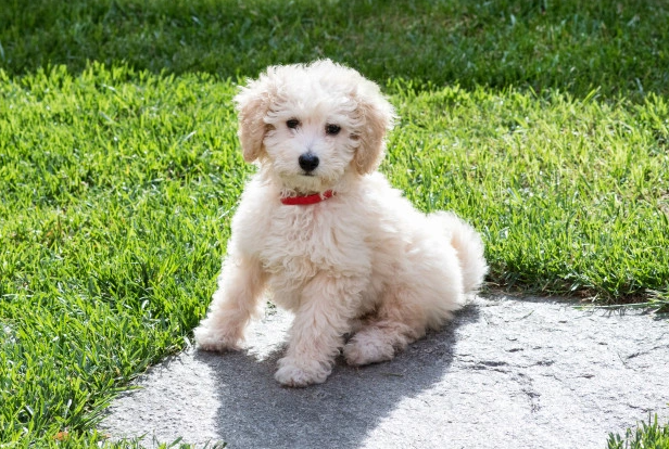 Toy Poodle puppy price in Noida, Toy Poodle puppy sale Noida, Toy Poodle puppy Purchase Noida, Toy Poodle dog purchase Noida, Toy Poodle dog sale Noida