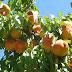 La climatología irregular provoca un descenso de entre un 20% y 30% en la fruta temprana del término municipal de Jumilla